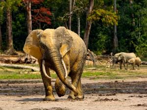 Elephant bull, Dzanga Sangha Reserve, Central African Republic.