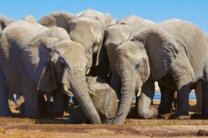Elephants rescue a baby in Etosha National Park, Namibia