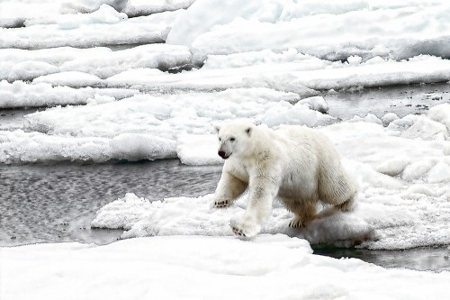 Polar bear jumping