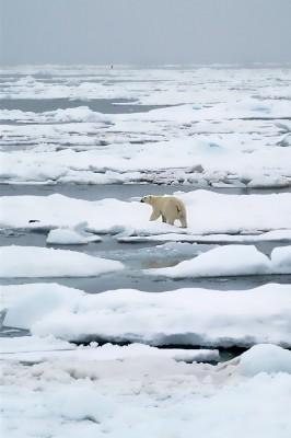 Polar bear retreating from the ship
