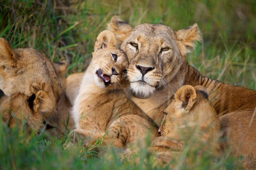 Successfully raising lion cubs requires a stable population of male lions. When mature males are lost to snares, new males entering the area will kill existing cubs in order to sire their own.