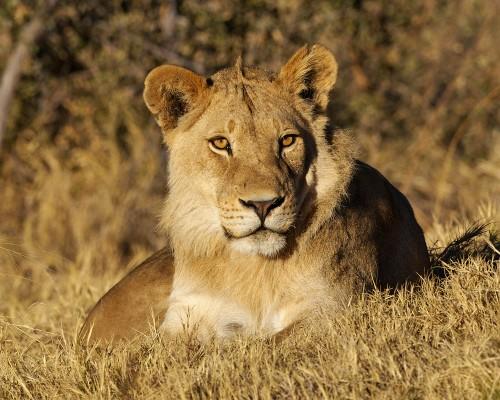Lion GZ6I6704