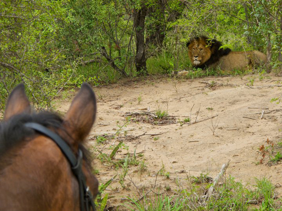 Riding in lion country
